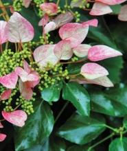 Цветы тладианта