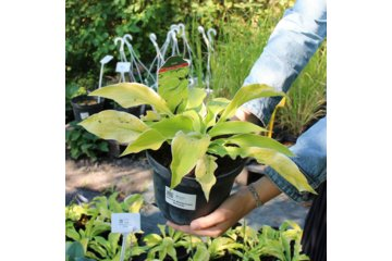 Hosta American Dream - Hosta American Dream