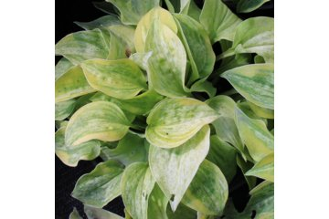 Hosta Silver Threads and Gold Needles