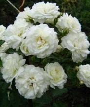 Купить саженец розы айсберг флорибунда купить голландские розы в минске