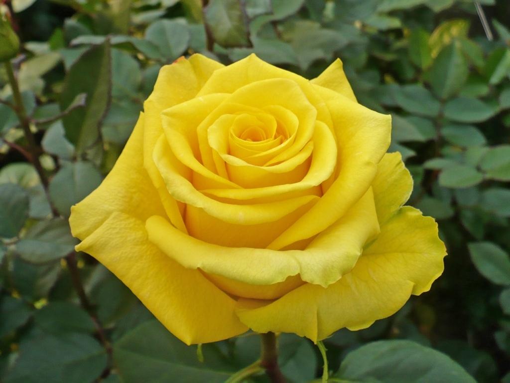 Роза керн фото описание