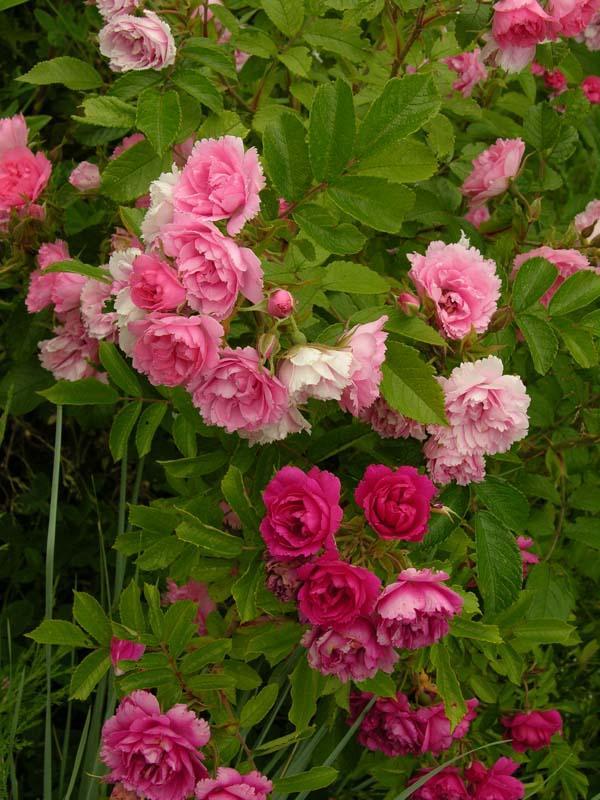 Роза ругоза купить новосибирск