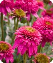 Цветы для дачи многолетние купить
