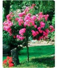 Розы купить киеве купить зимостойкие канадские розы